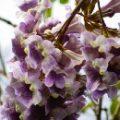 桐の花は高貴な花?